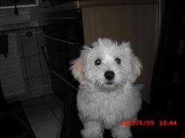 3 Monate jungen Malteserwelpen