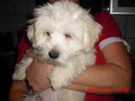 Foto 3 3 Monate jungen Malteserwelpen
