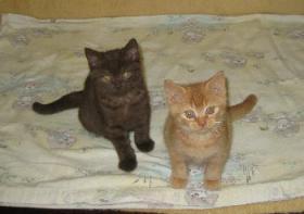 Foto 4 * 3 Niedliche BKH Fellnasen warten auf liebe Adoptiveltern *