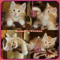 3 Norwegische Waldkatzen -Kater- suchen neuen Kuschelplatz