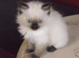3 RAGDOLL-kitten