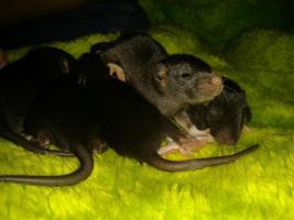 3 Rattenböcke sind noch zu haben!