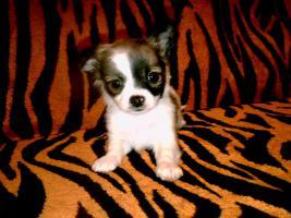 Foto 2 3 Reinrassige LH Chihuahua Hündinnen suchen Liebevolles zu Hause!!