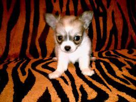 Foto 3 3 Reinrassige LH Chihuahua Hündinnen suchen Liebevolles zu Hause!!