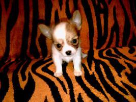 3 Reinrassige LH Chihuahua Hündinnen suchen Liebevolles zu Hause!!
