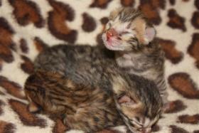 Foto 2 3 Süsse Bengal Babys