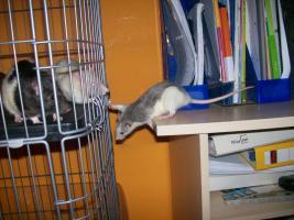 3 Süße Ratten Mädels suchen ein neues Zuhause
