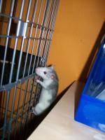 Foto 2 3 Süße Ratten Mädels suchen ein neues Zuhause