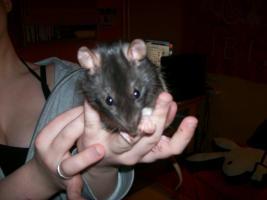 Foto 3 3 Süße Ratten Mädels suchen ein neues Zuhause