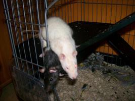 Foto 4 3 Süße Ratten Mädels suchen ein neues Zuhause