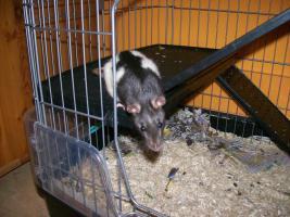 Foto 5 3 Süße Ratten Mädels suchen ein neues Zuhause