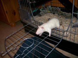 Foto 6 3 Süße Ratten Mädels suchen ein neues Zuhause