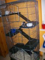 Foto 8 3 Süße Ratten Mädels suchen ein neues Zuhause