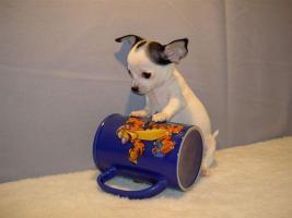 3 Teetasse Chihuahua Welpen