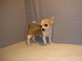 Foto 2 3 Teetasse Chihuahua Welpen