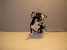 Foto 5 3 Teetasse Chihuahua Welpen