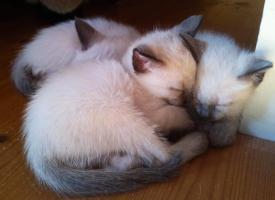3 Thaikatzen suchen neues zu Hause