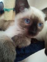 Foto 2 3 Thaikatzen suchen neues zu Hause