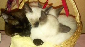 Foto 4 3 Thaikatzen suchen neues zu Hause
