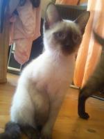 Foto 5 3 Thaikatzen suchen neues zu Hause