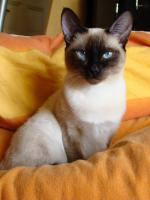 Foto 6 3 Thaikatzen suchen neues zu Hause