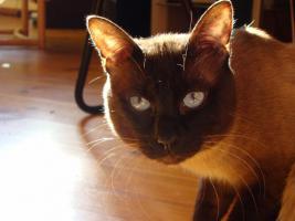 Foto 7 3 Thaikatzen suchen neues zu Hause