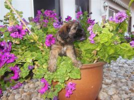 3 Tibet-Terrier Mädchen suchen ein schönes zu Hause
