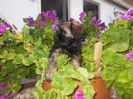 Foto 3 3 Tibet-Terrier Mädchen suchen ein schönes zu Hause