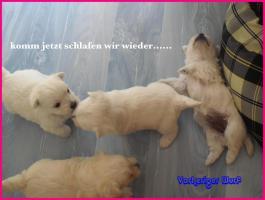 Foto 9 3 West-ighland-Malteser-Mischlingswelpen-Rüden / Neue Bilder
