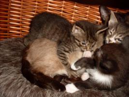 3 Zuckersüße Siammix Kätzchen
