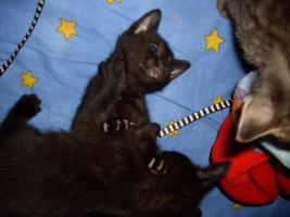 Foto 2 3 Zuckersüße Siammix Kätzchen