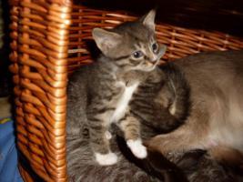 Foto 3 3 Zuckersüße Siammix Kätzchen