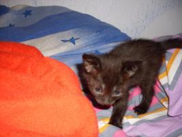 Foto 4 3 Zuckersüße Siammix Kätzchen