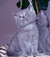 3 blaue (w)Kartäuser/BKH Kitten zu verkaufen