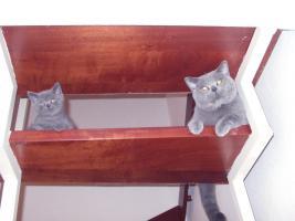 Foto 2 3 blaue (w)Kartäuser/BKH Kitten zu verkaufen