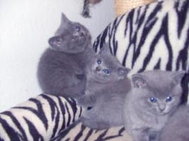 Foto 3 3 blaue (w)Kartäuser/BKH Kitten zu verkaufen