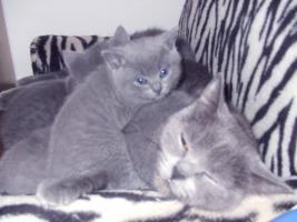 Foto 4 3 blaue (w)Kartäuser/BKH Kitten zu verkaufen