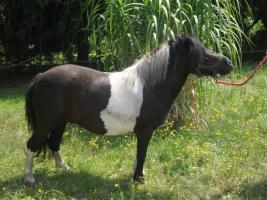Foto 2 3 jährige Ponnystute zu verkaufen