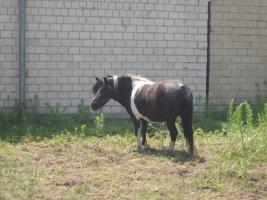 Foto 3 3 jährige Ponnystute zu verkaufen