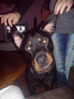 3 jähriger Rottweiler Rüde Butsh sucht DRINGEND neuen Besitzer