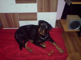 Foto 2 3 jähriger Rottweiler Rüde Butsh sucht DRINGEND neuen Besitzer