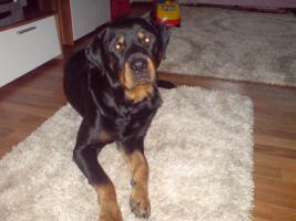 Foto 3 3 jähriger Rottweiler Rüde Butsh sucht DRINGEND neuen Besitzer