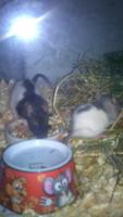 3 junge Rattenmädchen mit komplett Zubehör