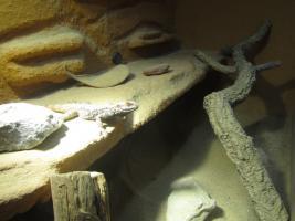 Foto 4 3 junge Schleuderschwanzagamen mit großem Terrarium