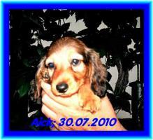 Foto 2 3 kleine Kuschelmonster (Zwerg-Langhaardackelwelpen) m. P. zu verkaufen