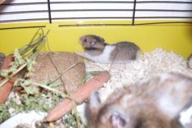 3 kleine süße Hamsterkinder mit Mama und Käfig zu verschenken