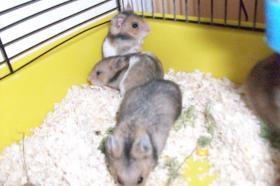 Foto 3 3 kleine süße Hamsterkinder mit Mama und Käfig zu verschenken