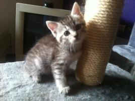 Foto 2 3 maine coon kitten