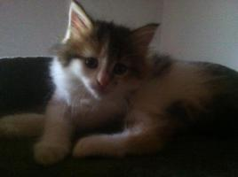 Foto 3 3 maine coon kitten
