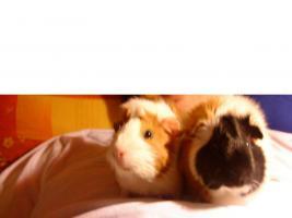 3 meerschweinchen mit allem drum und dran abzugeben